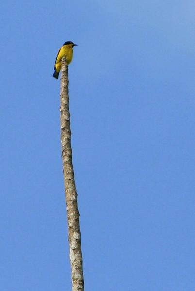 Small bird in Yasuni National Park in the Ecuadorian Amazon