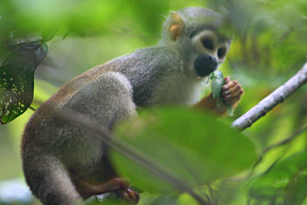 Squirrel monkey (Saimiri sciureus) eating an insect in Yasuni National Park in the Ecuadorian Amazon
