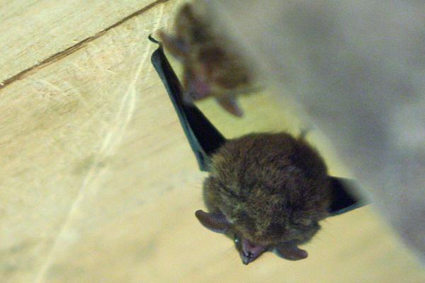 Bat in Yasuni National Park in the Ecuadorian Amazon