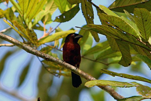 Female silver-beaked tanager (Ramphocelus carbo) in Yasuni National Park in the Ecuadorian Amazon