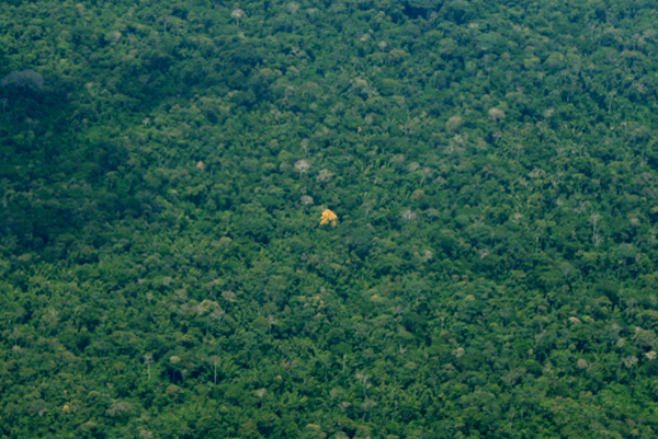 Single tree blooming in the Ecuadorian Amazon