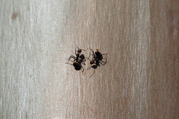 Ants in Yasuni National Park in the Ecuadorian Amazon