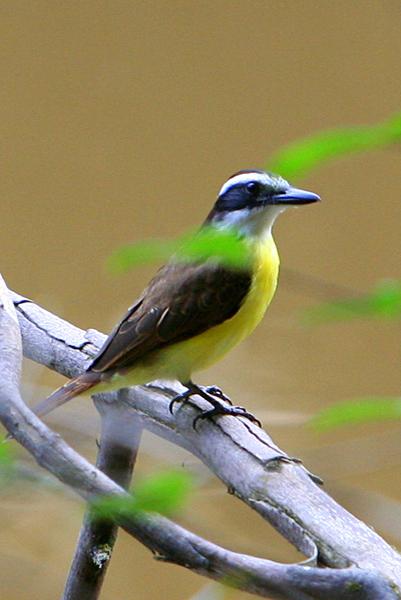 Great kiskadees (Pitangus sulphuratus) in Yasuni National Park in the Ecuadorian Amazon