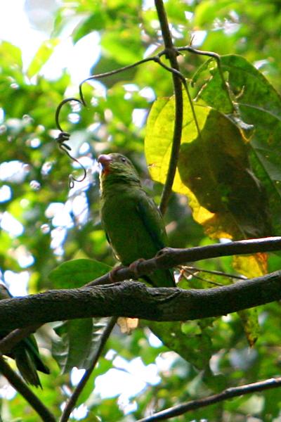 Cobalt-winged parakeet (Brotogeris cyanoptera) in Yasuni National Park in the Ecuadorian Amazon