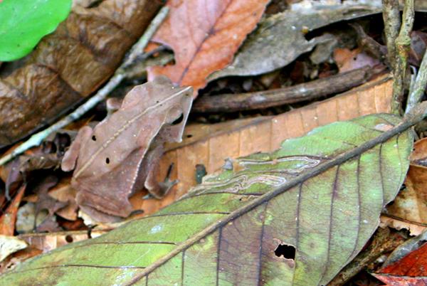 Bom jardim toad (Rhinella dapsilis) in Yasuni National Park in the Ecuadorian Amazon