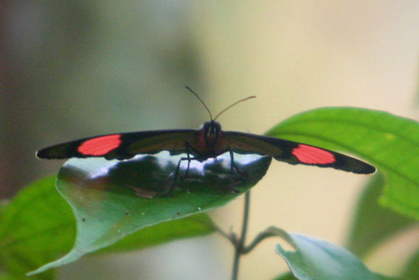 Red, blue, and yellow (on the underside) butterfly in Yasuni National Park in the Ecuadorian Amazon