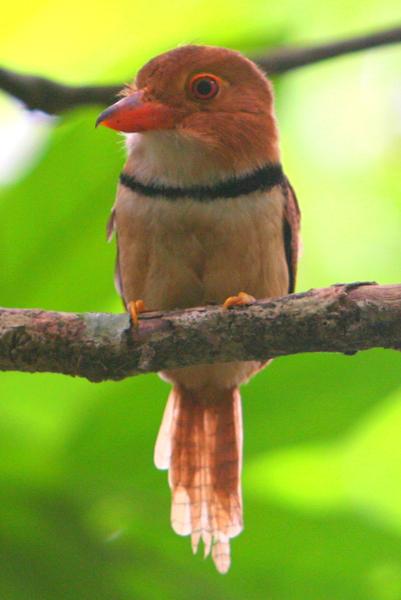Collared puffbird (Bucco capensis) in Yasuni National Park in the Ecuadorian Amazon