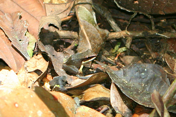 Well-camoflauged frog in the Pristimantis genus in Yasuni National Park in the Ecuadorian Amazon