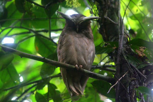 Crested owl (Lophostrix cristata) in Yasuni National Park in the Ecuadorian Amazon