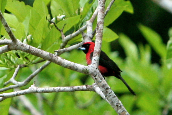 Masked crimson tanager (Ramphocelus nigrogularis) in Yasuni National Park in the Ecuadorian Amazon