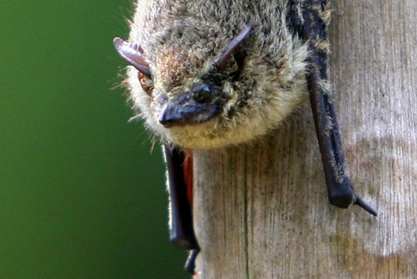 Bat hanging out on ox-bow lake in Yasuni National Park in the Ecuadorian Amazon