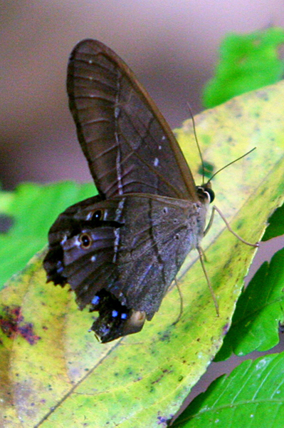 Brown butterfly or moth in Yasuni National Park in the Ecuadorain Amazon