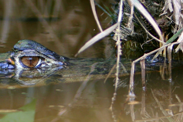 Eye of a black caiman (Melanosuchus niger) in an ox-bow lake in Yasuni National Park in the Ecuadorian Amazon