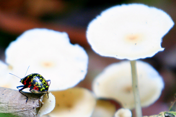 Beetle in Yasuni National Park in the Ecuadorian Amazon