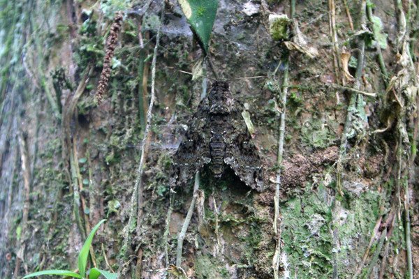 Camouflaged moth or butterfly in Yasuni National Park in the Ecuadorian Amazon