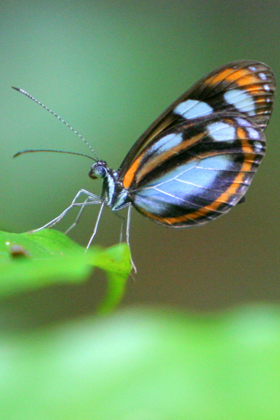 Blue, black, and orange butterfly in Yasuni National Park in the Ecuadorian Amazon