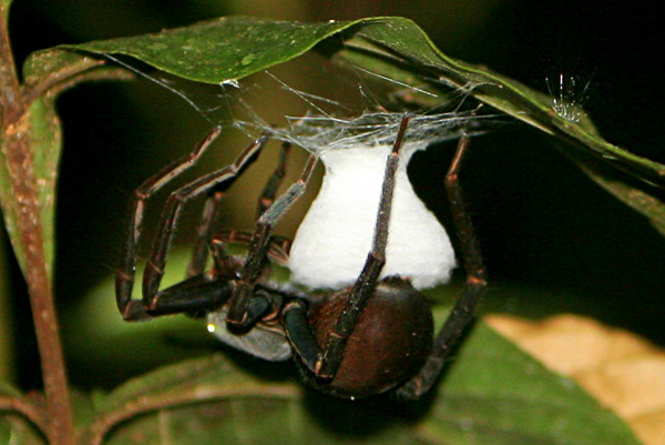 Tarantula laying eggs at night in Yasuni National Park in the Ecuadorian Amazon