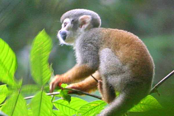 Squirrel monkey (Saimiri sciureus) in Yasuni National Park in the Ecuadorian Amazon