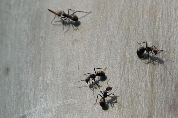 Ants in Yasuni National Park in the Ecuadorian Amazon