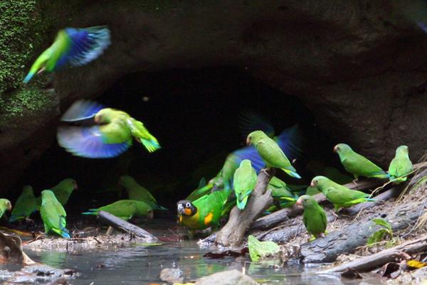 Cobalt-winged parakeet (Brotogeris cyanoptera) and orange-cheeked parrot (Pyrilia barrabandi) a clay lick in Yasuni National Park in the Ecuadorian Amazon