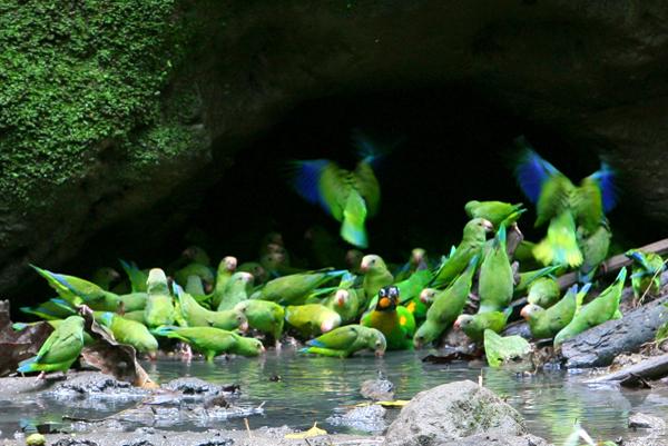 Great kiskadee (Pitangus sulphuratus) in Yasuni National Park in the Ecuadorian Amazon