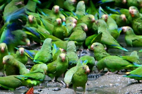 Cobalt-winged parakeet (Brotogeris cyanoptera)  at a clay lick in Yasuni National Park in the Ecuadorian Amazon
