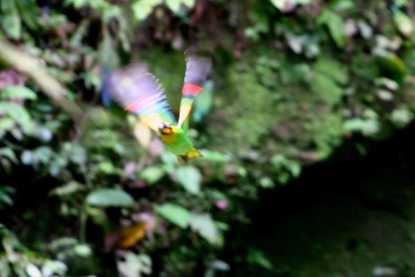 Orange-cheeked parrot (Pyrilia barrabandi) a clay lick in Yasuni National Park in the Ecuadorian Amazon