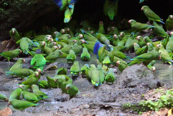 Cobalt-winged parakeets (Brotogeris cyanoptera)  at a clay lick in Yasuni National Park in the Ecuadorian Amazon