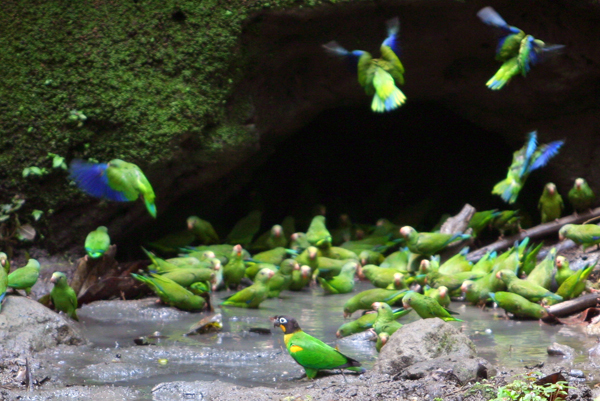 Cobalt-winged parakeet (Brotogeris cyanoptera) and orange-cheeked parrot (Pyrilia barrabandi) a clay lick in Yasuni National Park in the Ecuadorian Amazon