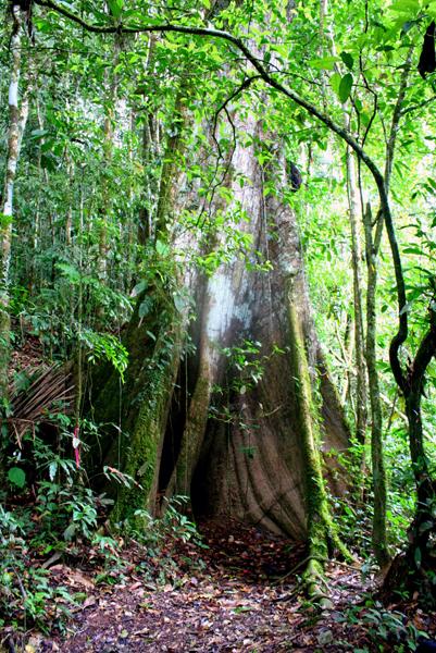 Tree in Yasuni National Park in the Ecuadorian Amazon