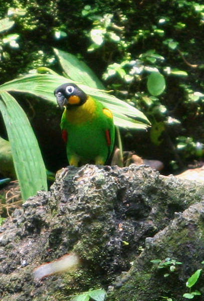 Orange-cheeked parrot (Pyrilia barrabandi) a clay lick in Yasuni National Park in the Ecuadorian Amazon