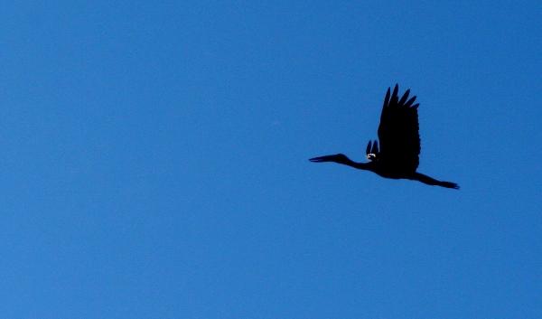 African open bill stork (Anastomus lamelligerus)