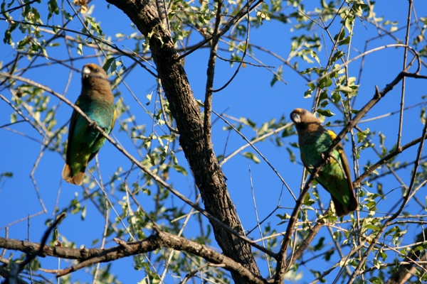 Pair of brown-headed parrots (Poicephalus cryptoxanthus)