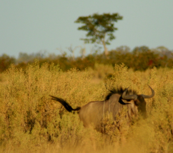 Blue wildebeest or gnu (Connochaetes taurinus)