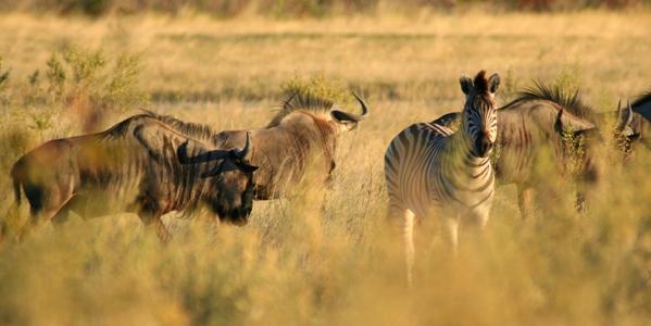 Blue wildebeest or gnu (Connochaetes taurinus) with Plains zebras (Equus quagga)