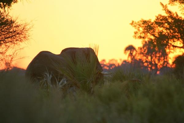 African elephant (Loxodonta africana) against sunset