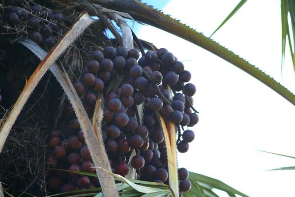 Large tree seeds