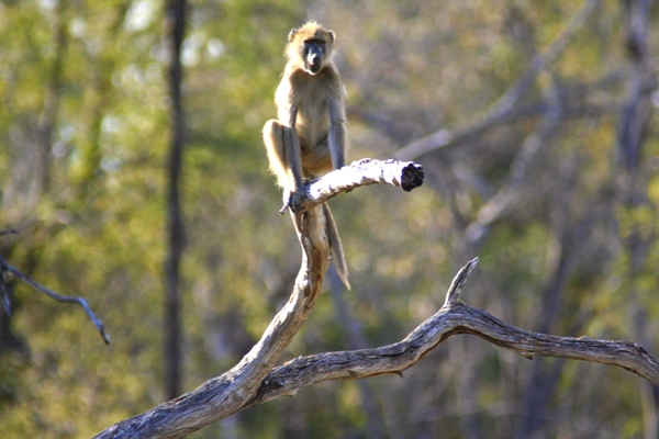 Gray-footed Chacma baboon (Papio ursinus griseipes)