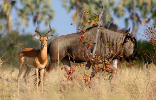 Male Common Impala (Aepyceros melampus melampus) next to the Blue wildebeest or gnu (Connochaetes taurinus)