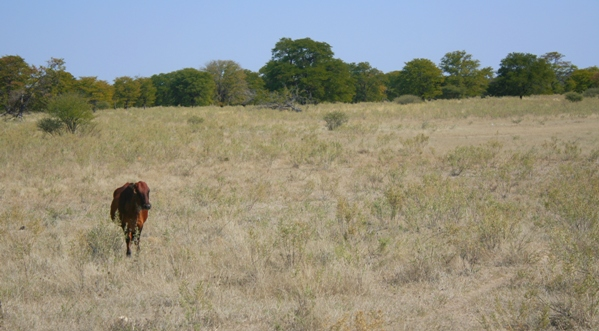 Cow on the edge of the Okavango delta