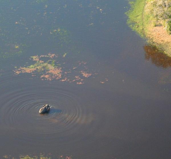 Aerial view of African elephant (Loxodonta africana) wading in Okavango delta