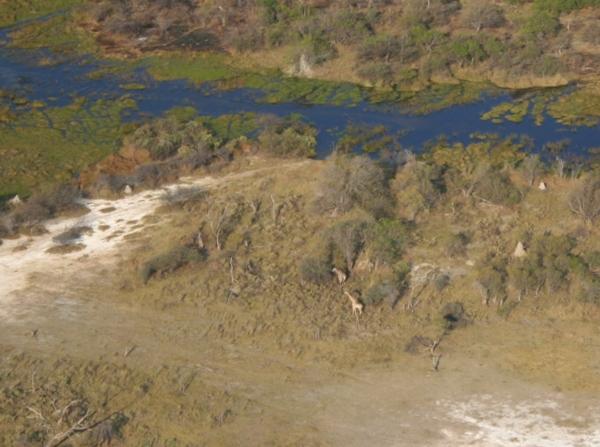 Aerial view of South African giraffe (Giraffa camelopardalis giraffa) in the Okavango delta
