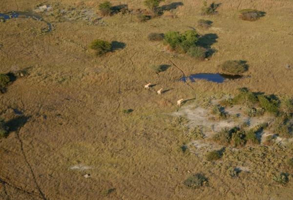 Aerial view of South African giraffes (Giraffa camelopardalis giraffa) in the Okavango delta