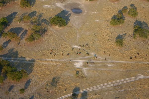 Cattle near the Okavango delta