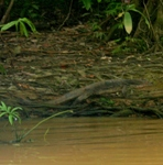 Monitor lizard (unidentified) on the banks of the Kinabantagan River in Sabah Malaysia