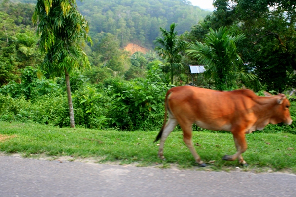 Stray cow in Sabah, Malaysia
