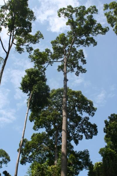 Rainforest tree in Sabah, Malaysia