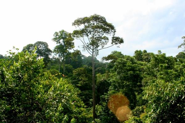 Rainforest canopy in Sabah, Malaysia