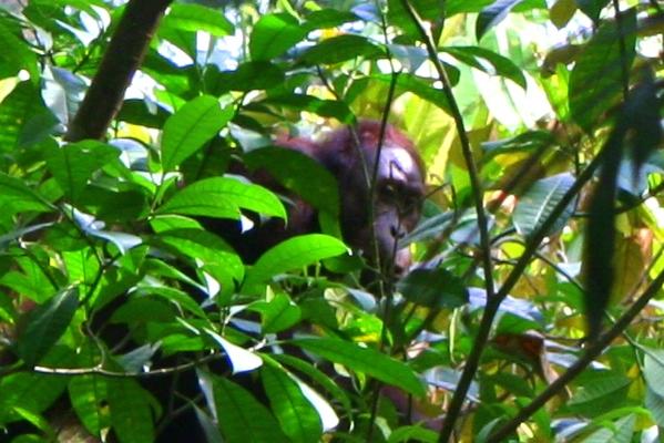 Rehabilitated Bornean orangutan (Pongo pygmaeus) in Sabah, Malaysia