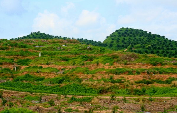 Replanting a palm oil plantation in Sabah, Malaysia